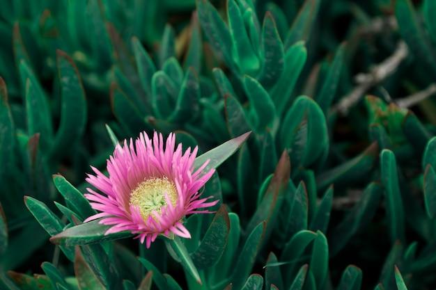 Planta costeira suculenta carpobrotus rossii ou carcalla, crescendo em dunas costeiras.