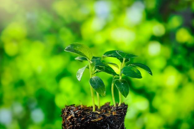 Planta crescente, mudas que crescem na luz da manhã