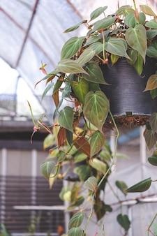 Planta da casa em um vaso pendurada