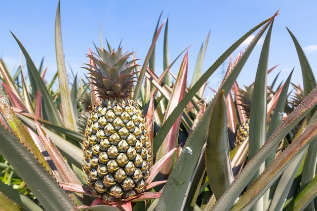 Planta de abacaxi