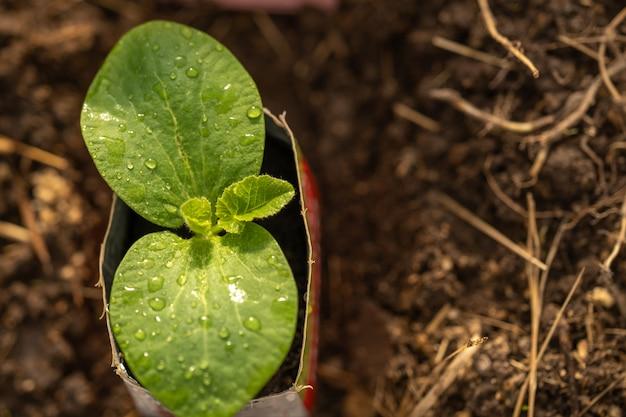 Planta de abóbora verde jovem que cresce em vaso.