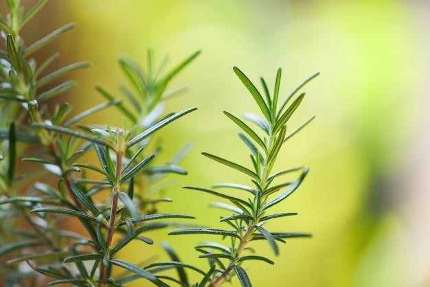 Planta de alecrim orgânico que cresce no jardim para extratos de óleo essencial / ervas frescas de alecrim natureza fundo verde