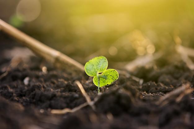 Planta de algodão pequeno, born concept
