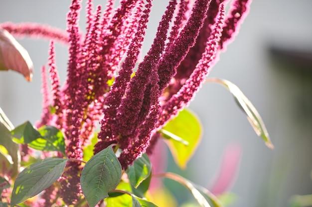 Planta de amaranto vermelho indiano crescendo no jardim de verão. vegetais de folhas, cereais e plantas ornamentais, fonte de proteínas e aminoácidos.