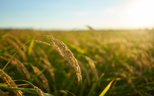 Planta de arroz ao pôr do sol em valência, com a plantação