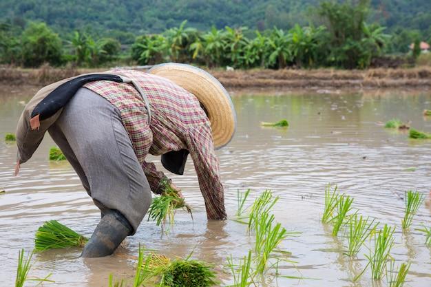 Planta de arroz verde asiático agricultor no trabalho