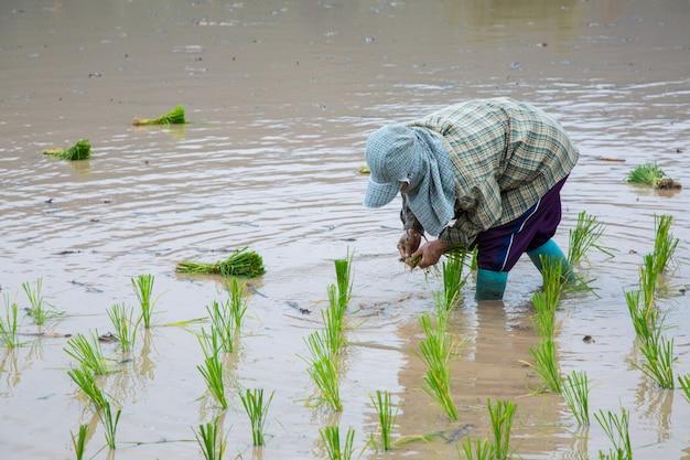 Planta de arroz verde asiáticos agricultor no trabalho