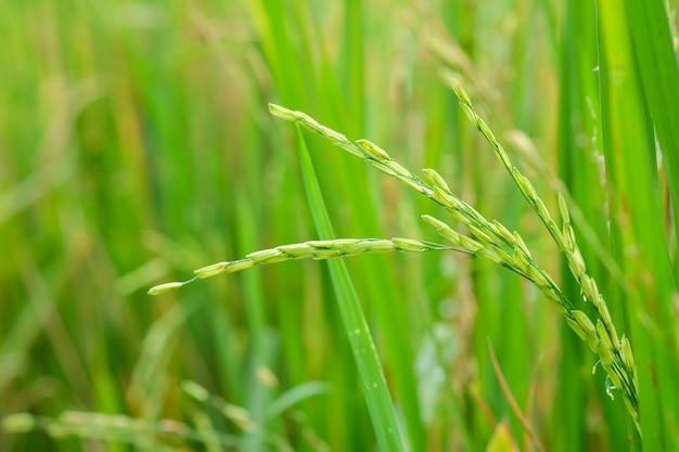Planta de arroz verde em campos de arroz close-up
