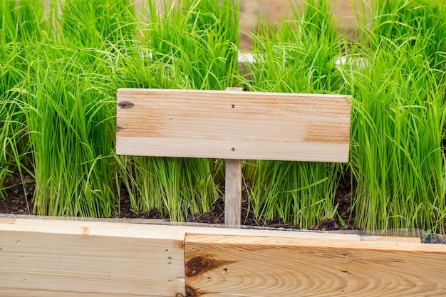 Planta de arroz verde orgânico, soruce de clorofila. jardim vegetal limpo atóxico para o alimento.