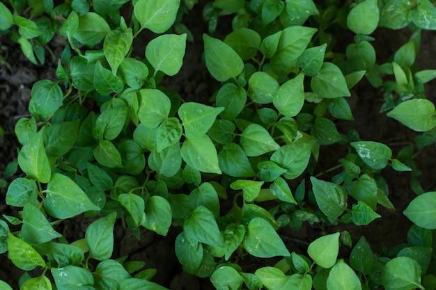 Planta de árvore jovem pimenta