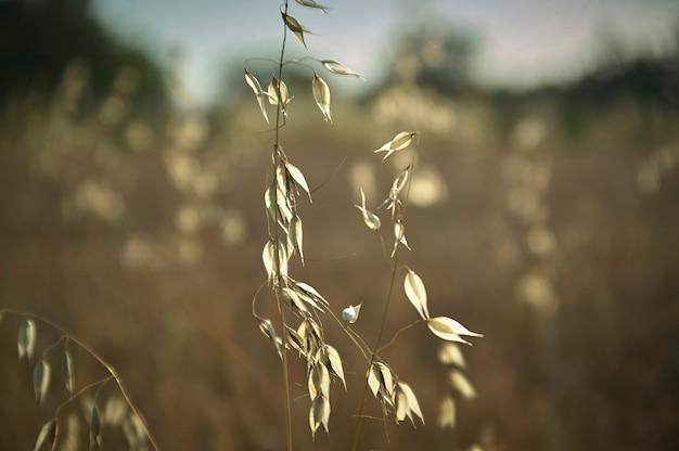 Planta de aveia num campo movido pelo vento, fios windy, um macro detalhe que evoca melancolia e reflexão.