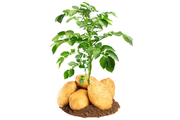 Planta de batata isolada em fundo branco