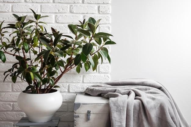 Planta de borracha ficus elastica em vaso de flores branco e manta de lã cinza suave em caixa de madeira branca parede branca com tijolos na superfície