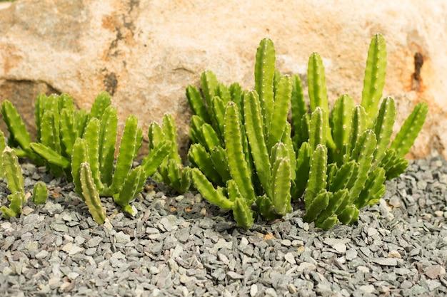 Planta de cacto triangular euphorbia