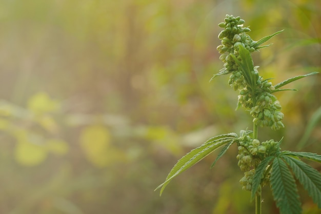 Planta de cânhamo madura