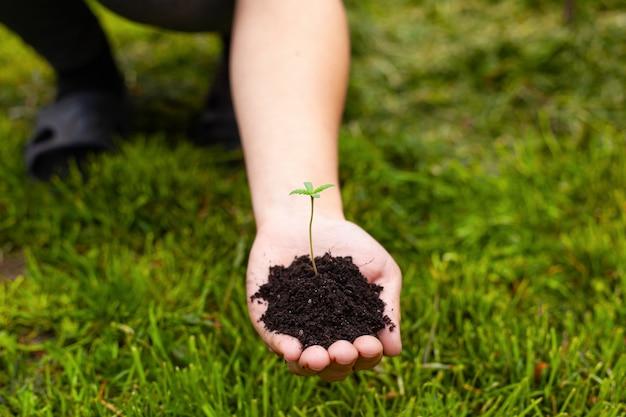 Planta de cannabis jovem nas mãos femininas em um fundo de relva verde.