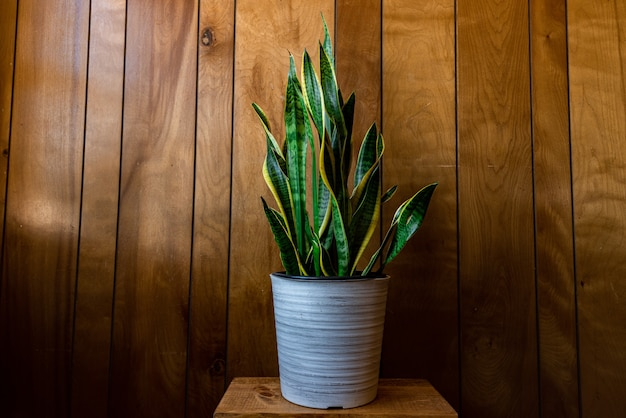 Planta de casa com folhas longas em um vaso contra uma parede de madeira sob as luzes