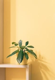 Planta de casa de ficus verde em vaso em prateleira quadrada de madeira com sombra na parede amarela