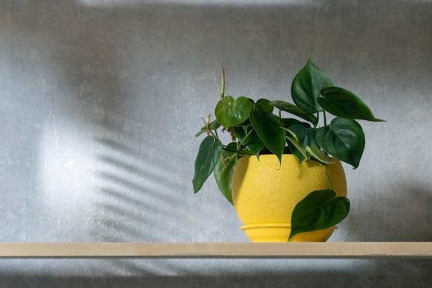 Planta de casa decorativa em um pote amarelo na prateleira de madeira. planta de scandens no interior. acentos claros no interior, planta ornamental