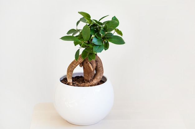 Planta de casa ficus microcarpa ginseng em vaso branco