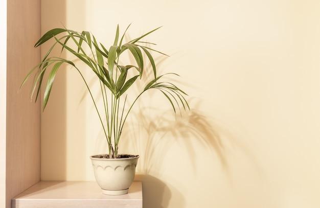 Planta de casa howea em vaso de cerâmica em prateleira de madeira com sombras na parede bege