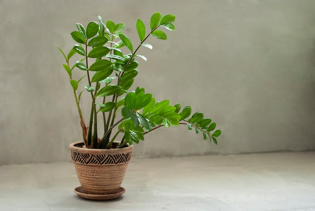 Planta de casa linda crescendo em panela de barro natural