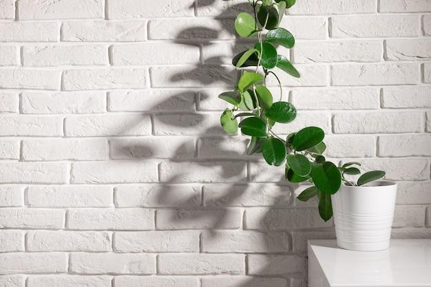 Planta de casa na prateleira contra a parede de tijolos brancos à luz do sol.