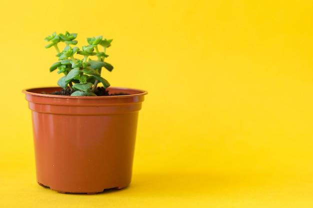 Planta de casa suculenta brotos pequenos em amarelo