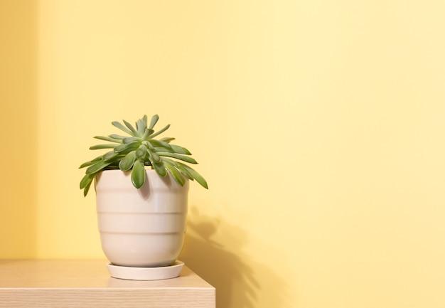 Planta de casa suculenta verde em vaso de cerâmica na prateleira de madeira com sombras na parede amarela