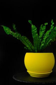 Planta de casa verde brilhante em pote amarelo sobre fundo preto. planta ornamental. asplênio ou samambaia.