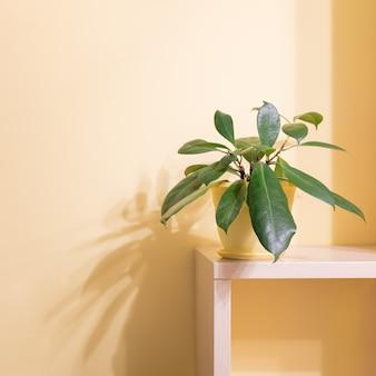 Planta de casa verde de ficus em um vaso de flores em uma prateleira de madeira com sombras na parede de cor clara