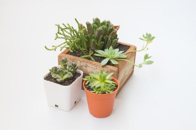 Planta de diversas suculentas de pouco no pote de madeira para casa decorativa isolada no fundo branco