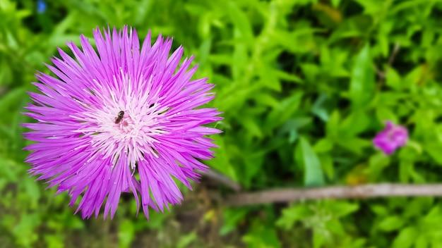Planta de erva daninha de campo de cornflower prado. espécies do gênero cornflower da família asteraceae, ou compositae. ela cresce em prados, bordas de florestas e ao longo de estradas. copie o espaço. colocação plana.