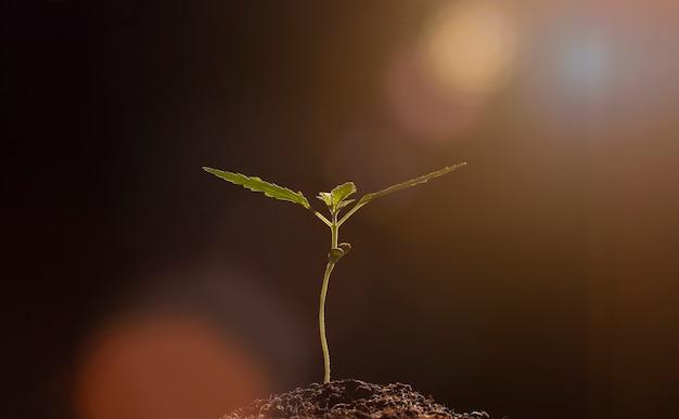 Planta de erva de maconha semeando luz no solo