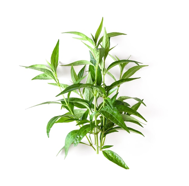 Planta de erva fresca kariyat em fundo branco