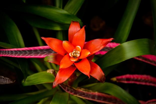 Planta de flor de bromelia (família: bromeliaceae, subfamília: bromelioideae)