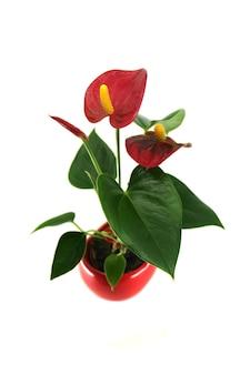 Planta de flor laceleaf de antúrio vermelho em um vaso isolado em uma superfície branca nomes comuns gerais flor de antúrio laceleaf flor de cauda