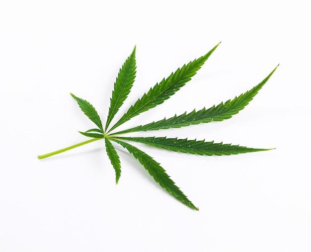 Planta de folha de cannabis