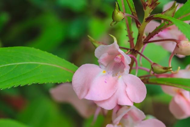 Planta de glandulíferos impatiens