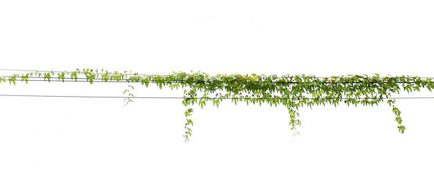 Planta de hera pendurado na pole elétrica isolar fundo branco