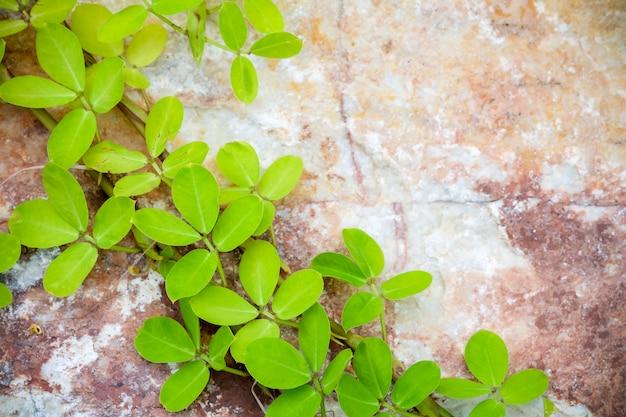 Planta de hera pequena alpinistas estão no mármore