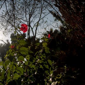 Planta de hibisco vermelho na costa rica