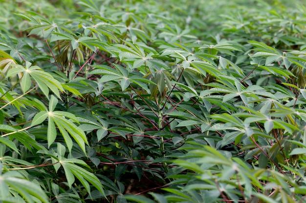 Planta de mandioca na agricultura de topo de campo no norte da tailândia