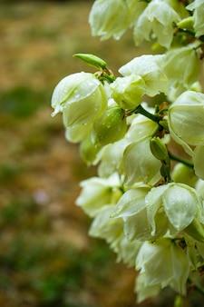 Planta de mandioca