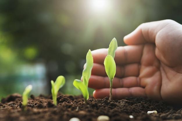 Planta de milho nova da proteção da mão na exploração agrícola.