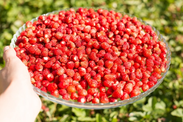 Planta de morango com folhas verdes e frutos vermelhos maduros, bagas vermelhas - fragaria vesca.