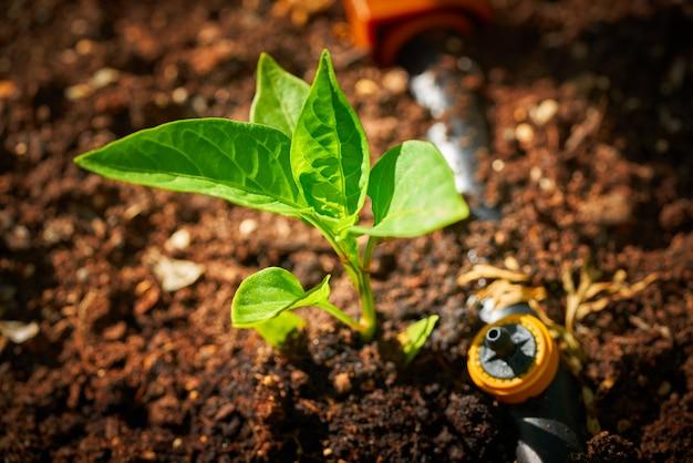 Planta de mudas de broto de pimenta na herdade de pomar