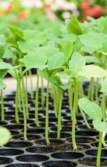 Planta de mudas em uma bandeja plástica