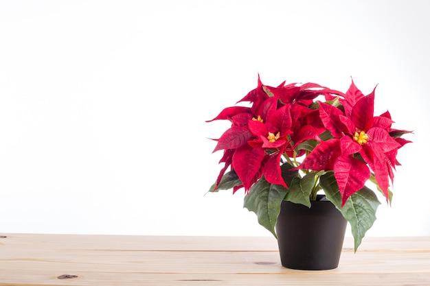 Planta de natal poinsétia vermelha com fundo branco isolado.