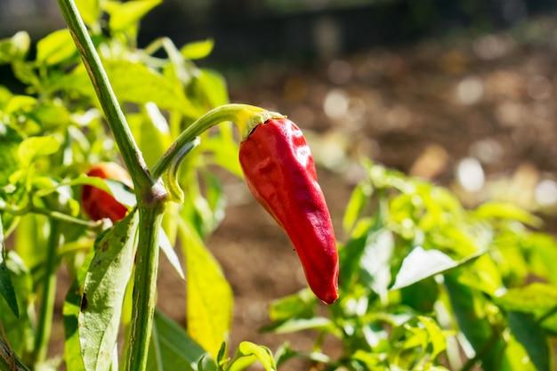 Planta de paprika vermelha no jardim